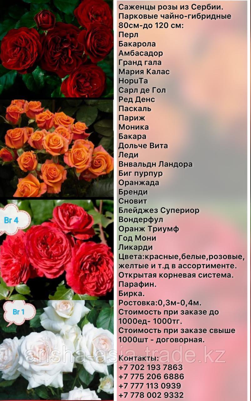 Саженец розы чайно - гибридные высокие Сербия