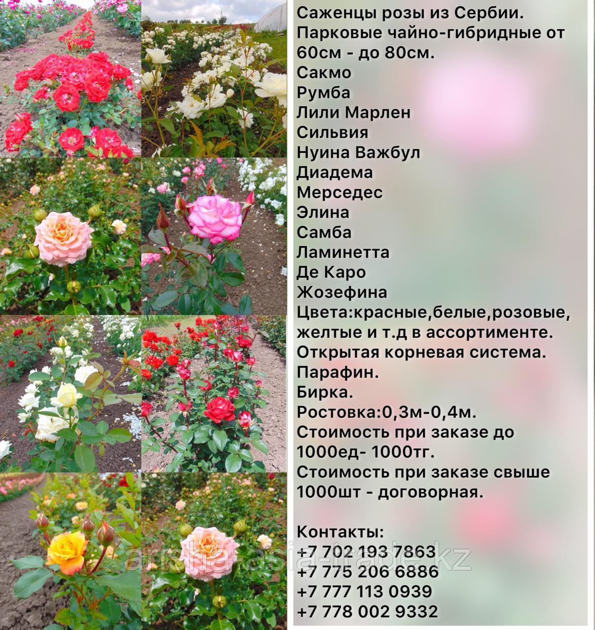 Саженец розы чайно - гибридные среднерослые Сербия