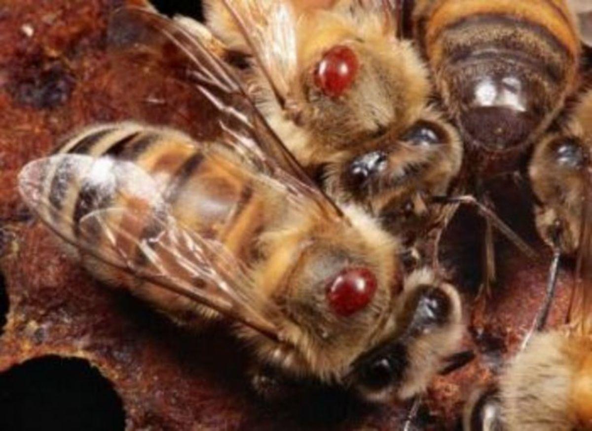 Справочник «Основные болезни пчел»