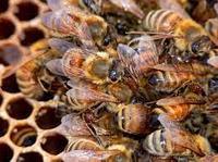 Книга для пчеловода «Болезни и вредители»