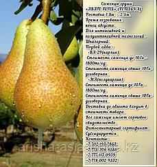 Саженец груши Abate Fetel (Аббат Фетел) Сербия