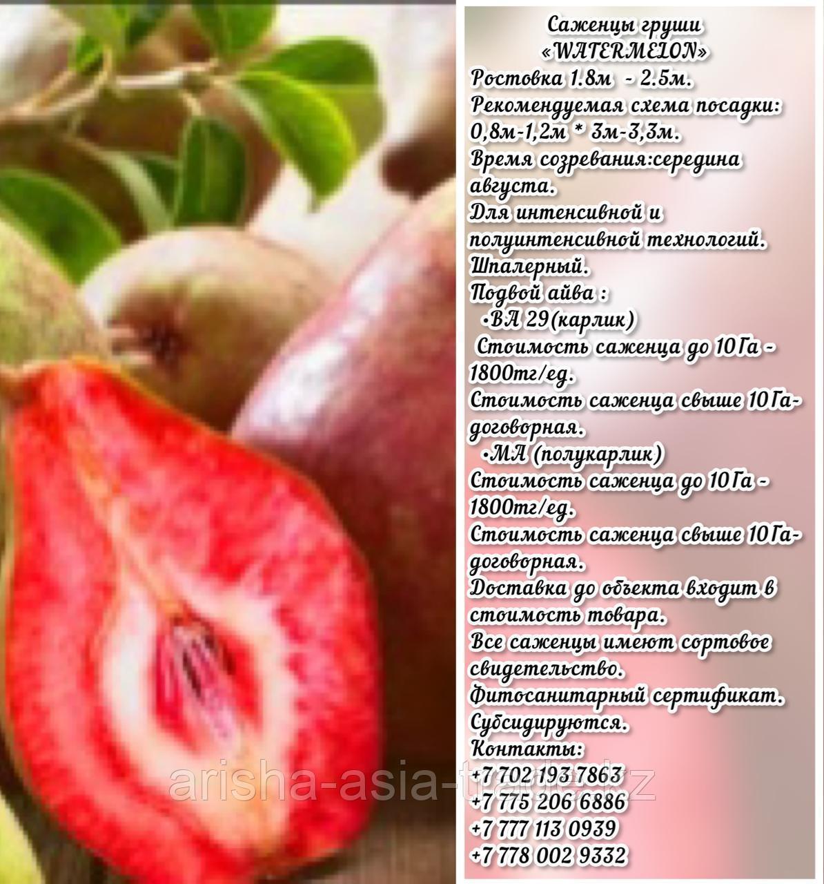 Саженец груши Watermelon (Вотермелон) Сербия