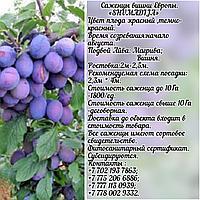 Саженец сливы Shumadija (Шумадия) Сербия