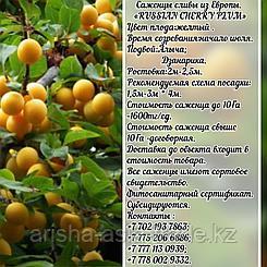 Саженец  сливы Russian cherry plum (Черри плам) Сербия