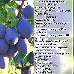 Саженец  сливы Bluefree (Блюфри) Сербия