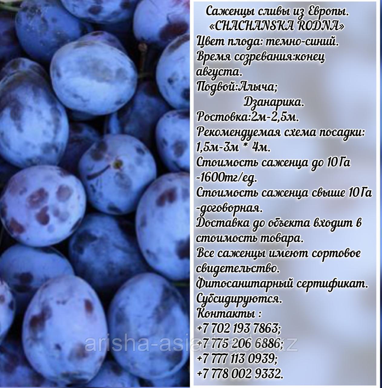Саженец  сливы Chachanska Rodna (Чачакская родная) Сербия
