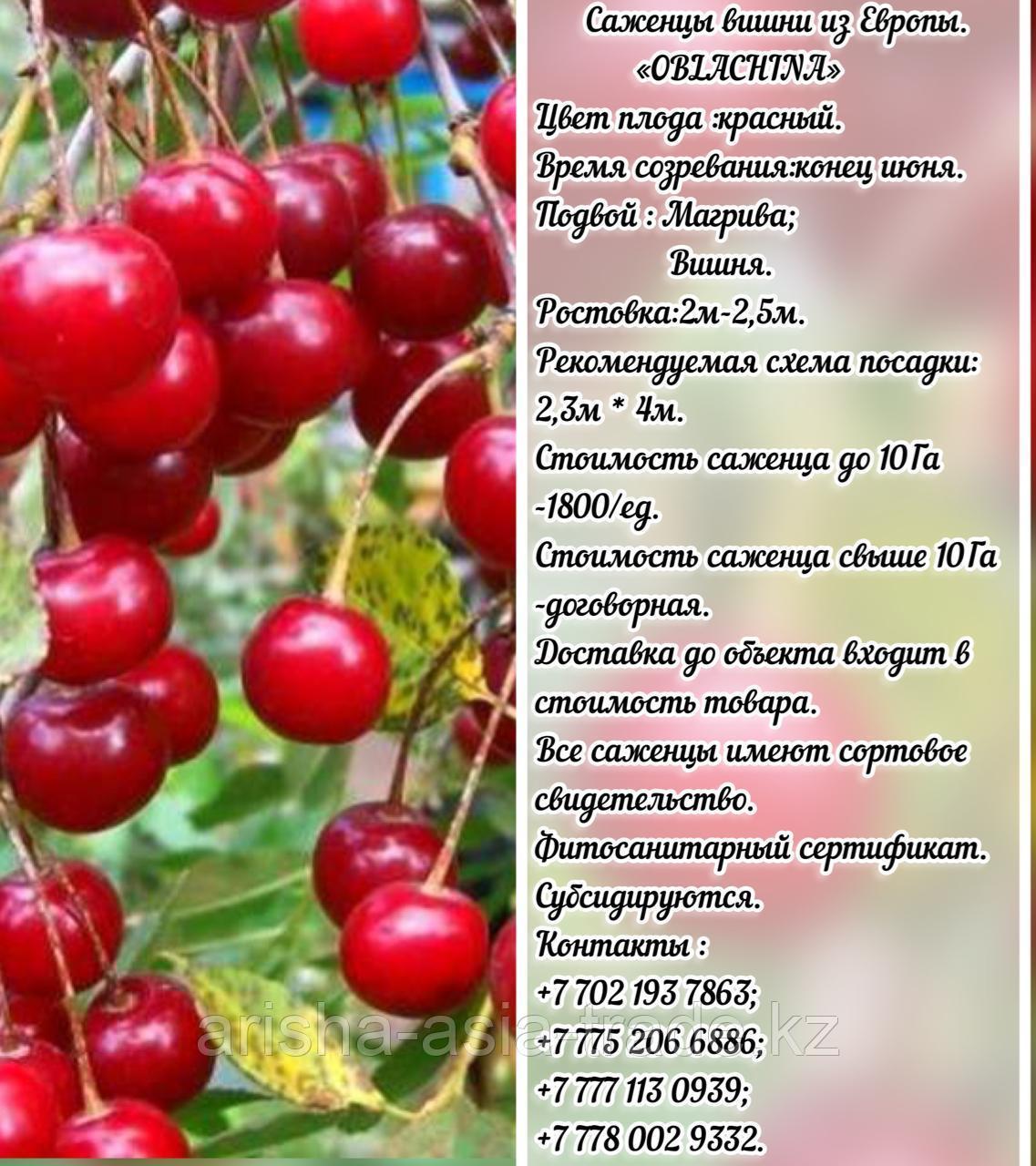 Саженец вишни Oblachina (Облачинская) Сербия