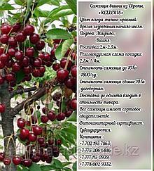 Саженец вишни Kelleris (Келлерис) Сербия