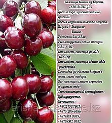 Саженец вишни Shumadija (Шумадинка) Сербия
