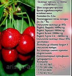 Саженец черешни калированной Sunburst (Санбурст) Сербия