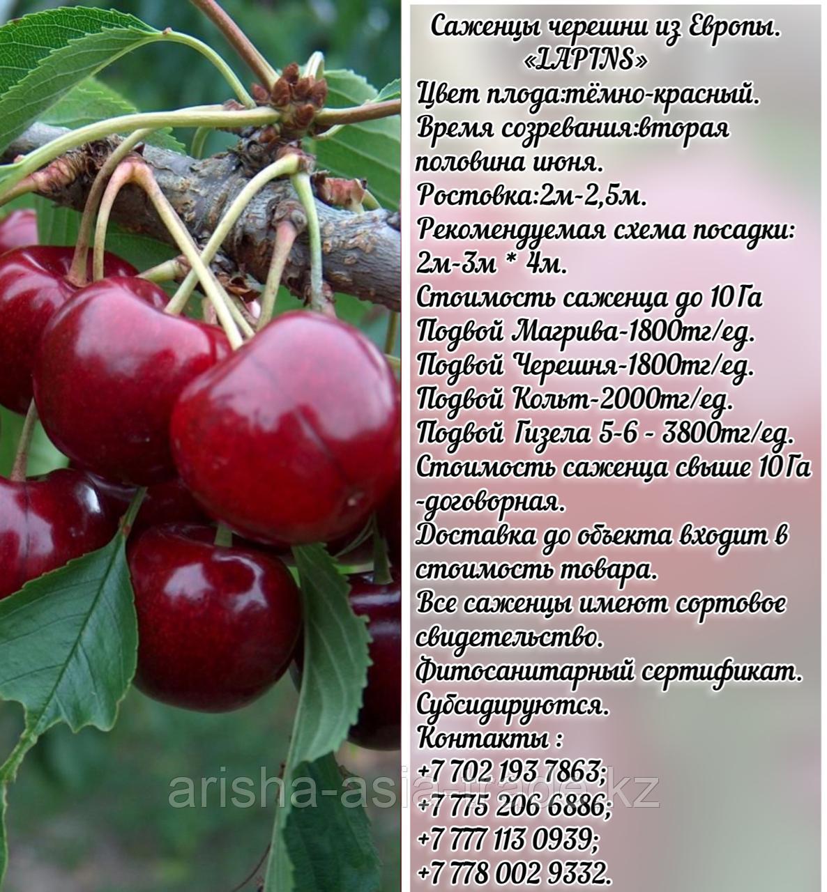 Саженец черешни калированной Lapins (Лапинс) Сербия
