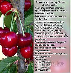 Саженец черешни калированной Grace Star (Грейс Стар) Сербия
