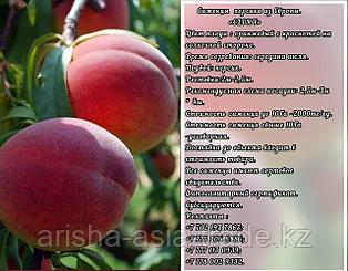 Саженец персика Glory (Глория) Сербия