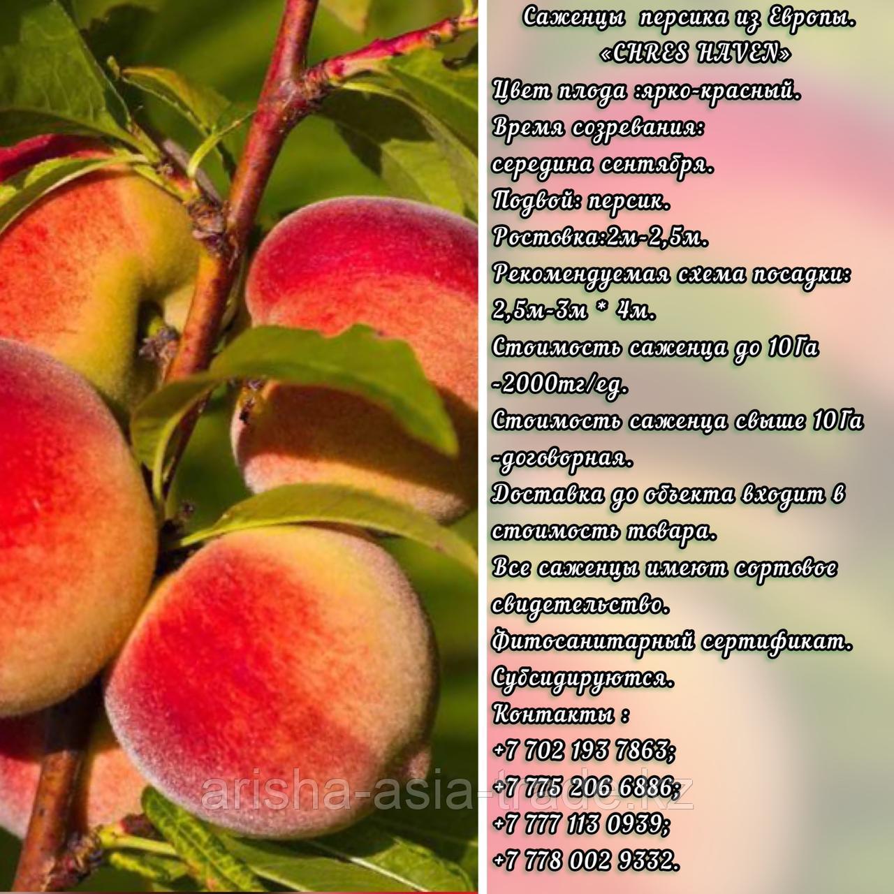 Саженец персика Chres Haven (Чрес Хавен) Сербия