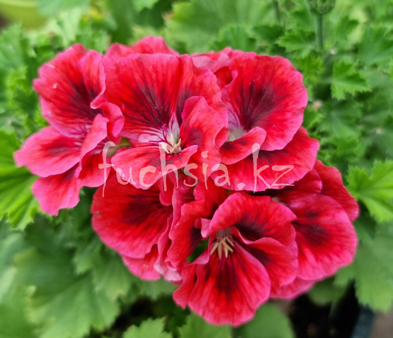 Pac Candy Flowers Raspberry