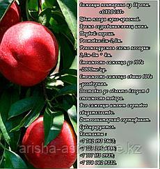 Саженцы нектарина Caldesi (Калдези) Сербия