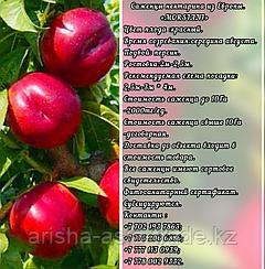Саженцы нектарина  Morsiani (Марсияне) Сербия