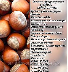 Саженец фундука Tonda Gentile (Тонда Джентиле) Сербия
