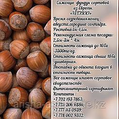 Саженец фундука Istarki (Истарки) Сербия