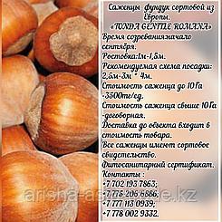 Саженец фундука Tonda Gentile  Romana (Тонда Джентиле Романа) Сербия