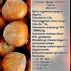 Саженец фундука Tonda Romana (Тонда Романа) Сербия