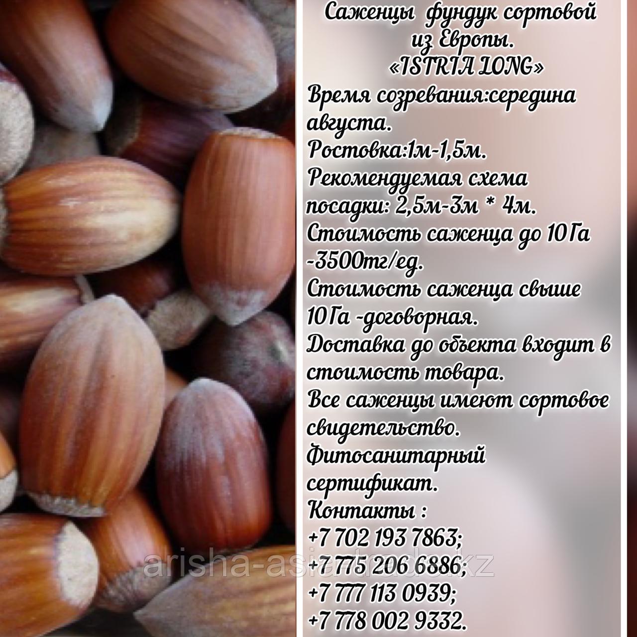 Саженец фундука Istria Long (Истриа Лонг) Сербия