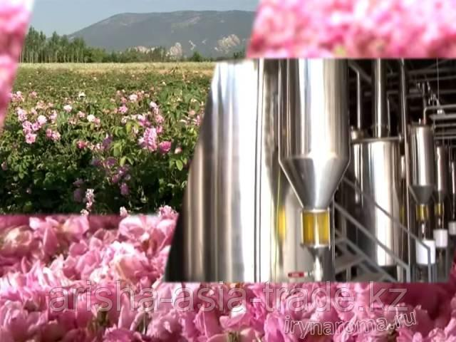 Саженцы масленичных роз Сербия