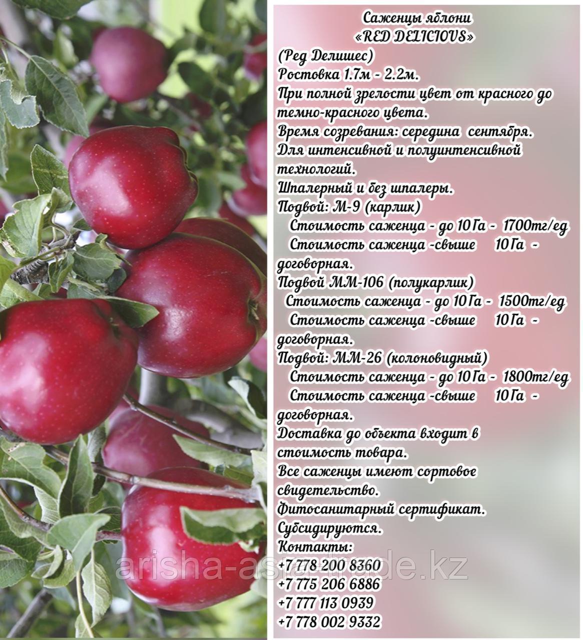 """Саженцы яблони """"Red Delicious"""" (Ред Делишес) подвой мм 26 Сербия"""