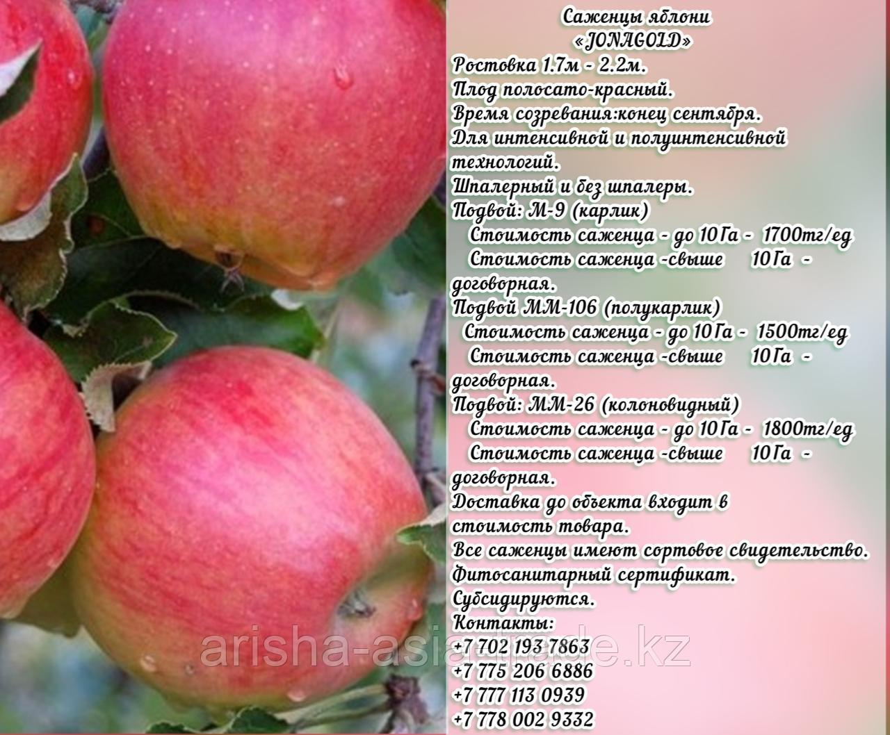 """Саженцы яблони """"Jonagold"""" (Джонаголд) подвой м 9 Сербия"""