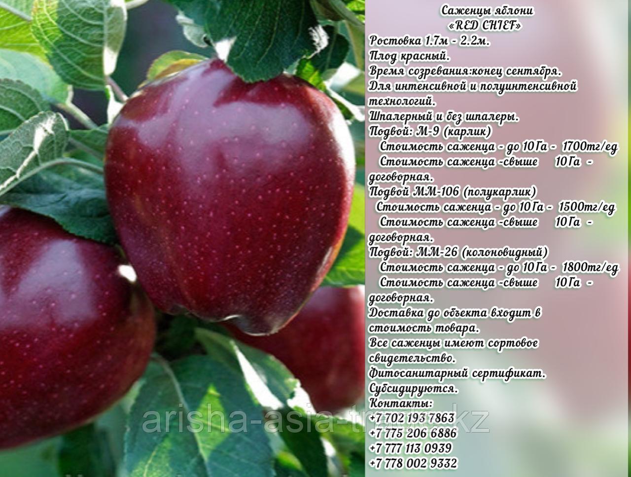 "Саженцы яблони ""Red Chief"" (Ред Чиф) подвой мм 26 Сербия"
