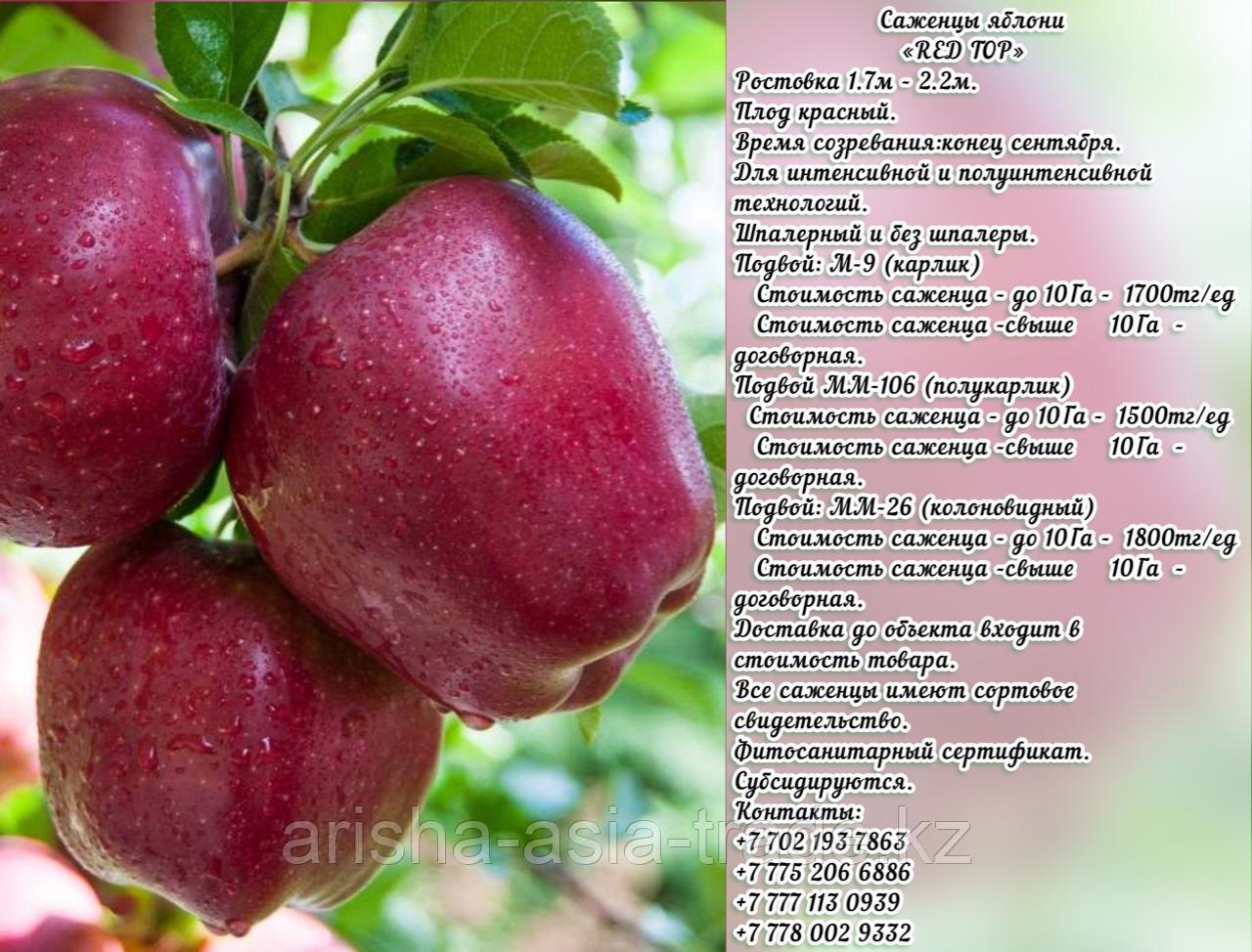 """Саженцы яблони """"Top Red """" (Топ Ред) подвой мм 26 Сербия"""