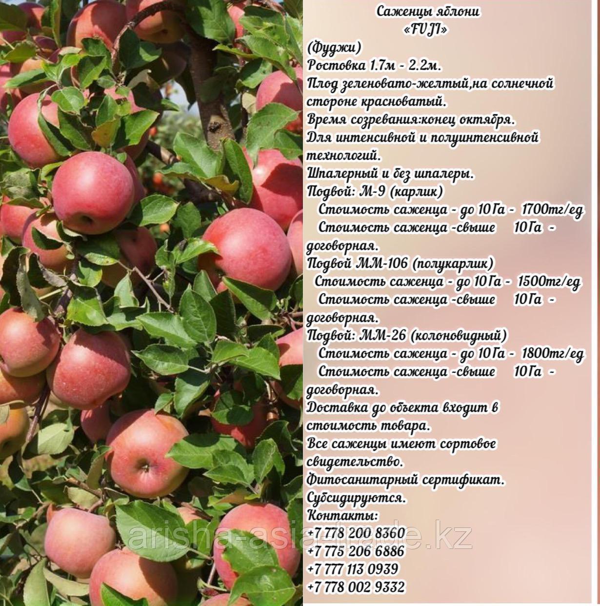 """Саженцы яблони """"Fuji""""  (Фуджи) подвой м 9 Сербия"""
