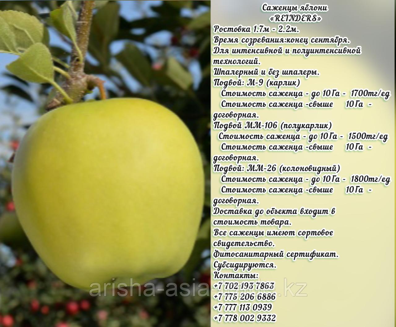 "Саженцы яблони ""Rainders"" (Рэндэрс) М 9 Сербия"