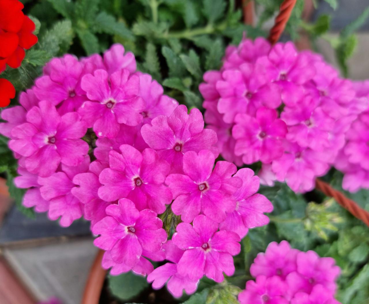 Estrella   Pink N714