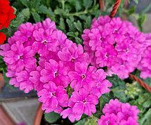 Estrella   Pink N714 / укор.черенок