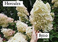 Гортензия метельчатая Hercules