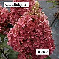 Гортензия метельчатая Candlelight