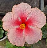 Гибискус (Китайская Роза), фото 2