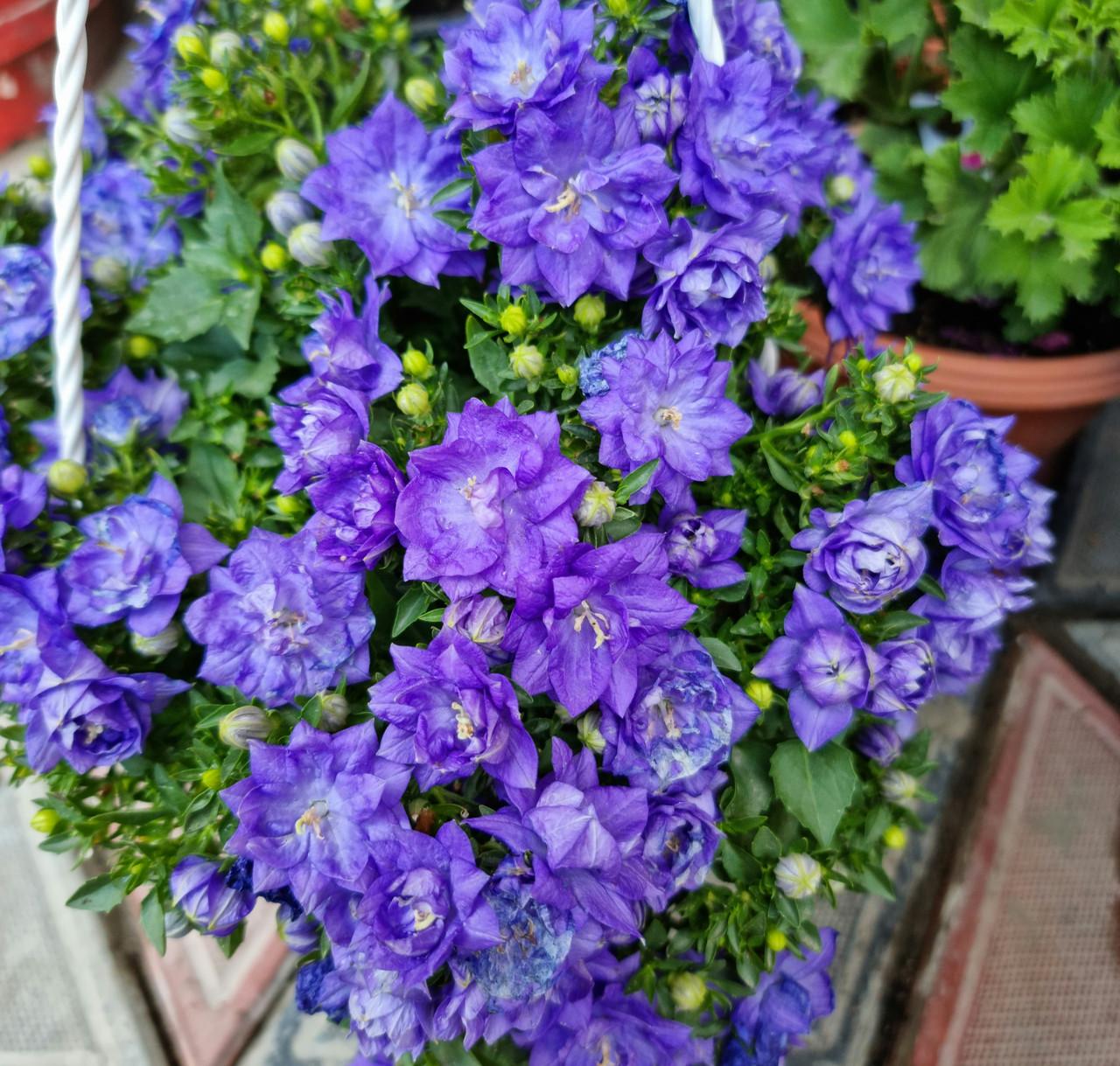 Isofila Dublin Blue / взрослое цветущее растение