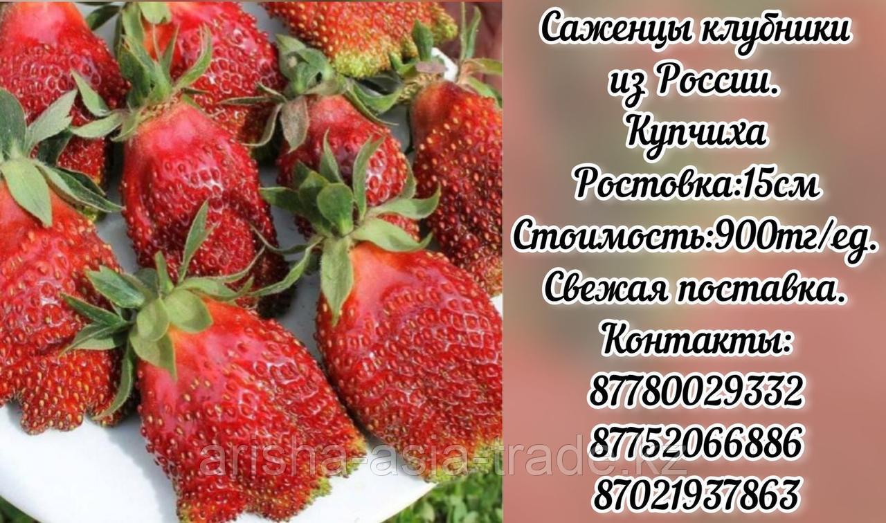 """Рассада земклуники """"Купчиха"""" Россия"""