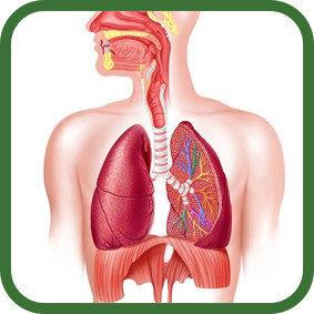 Для здоровья органов дыхания