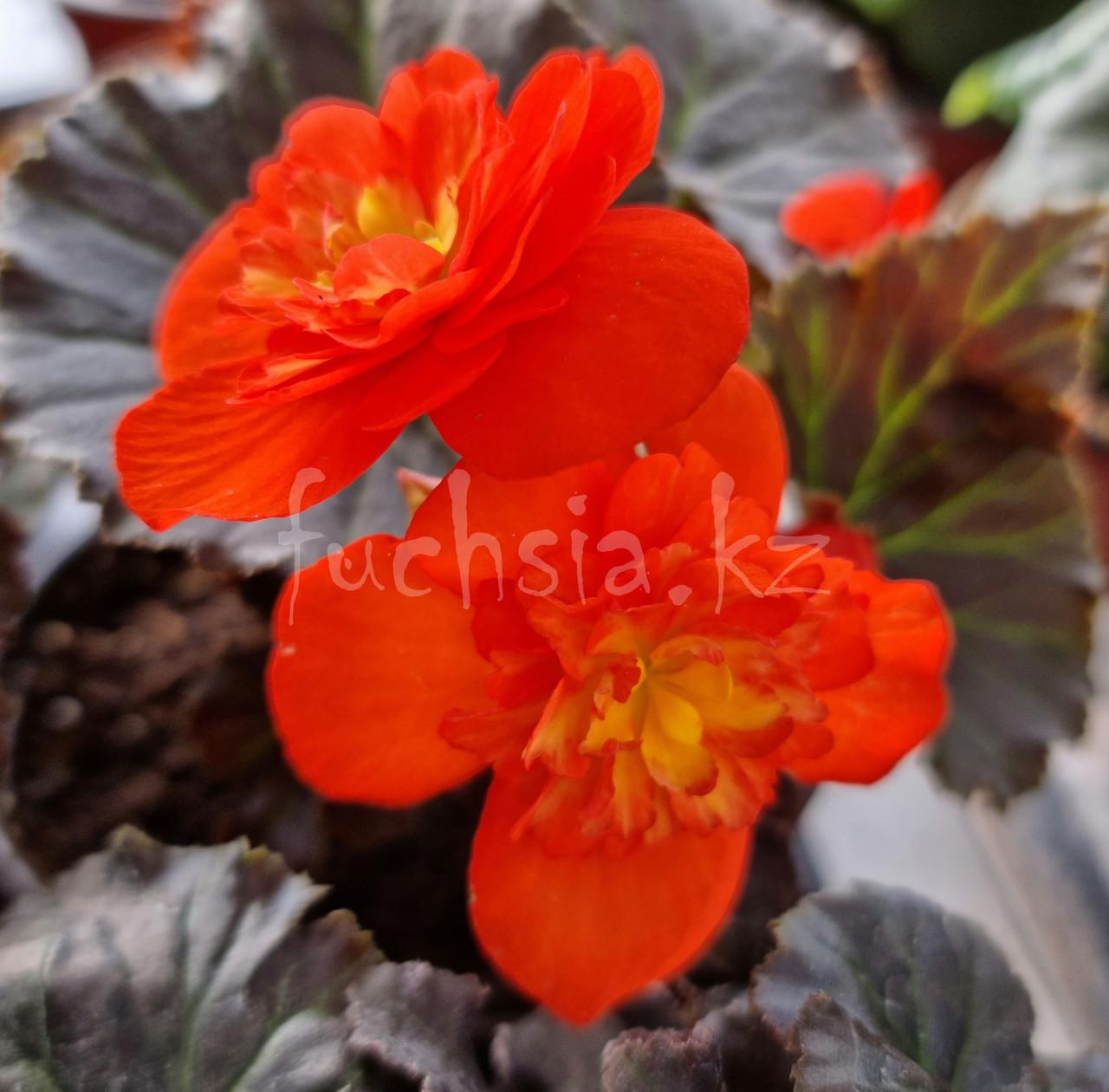 Solenia Chocolate Orange N 327/ укор.черенок