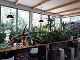 Растения комнатные в ассортименте, наличие и размеры просим уточнять, фото 4