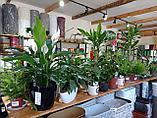 Растения комнатные в ассортименте, наличие и размеры просим уточнять, фото 2