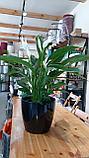 Растения комнатные в ассортименте, наличие и размеры просим уточнять, фото 3