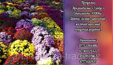 """Хризантемы """"Глобус"""""""