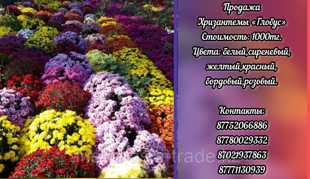 """Саженцы хризантем """"Глобус""""."""