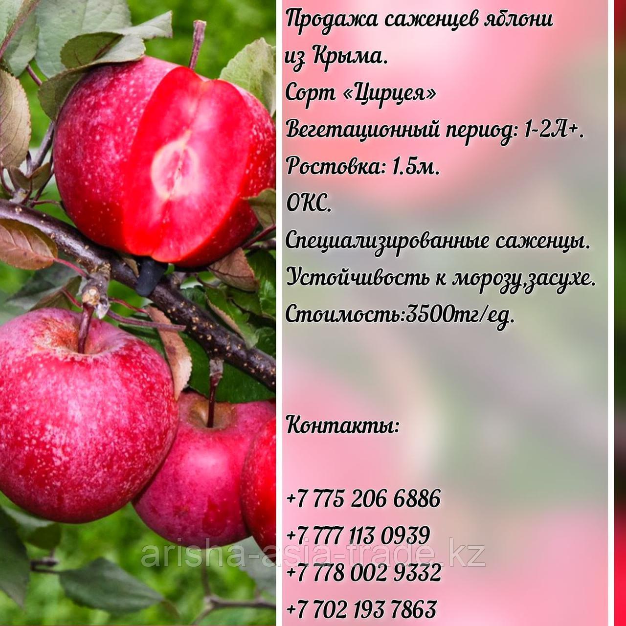 """Саженцы яблони """"Цирцея"""" красная мякоть Крым"""