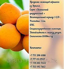 """Саженцы абрикоса """"Цюрупинский"""" (ананасный) Крым"""