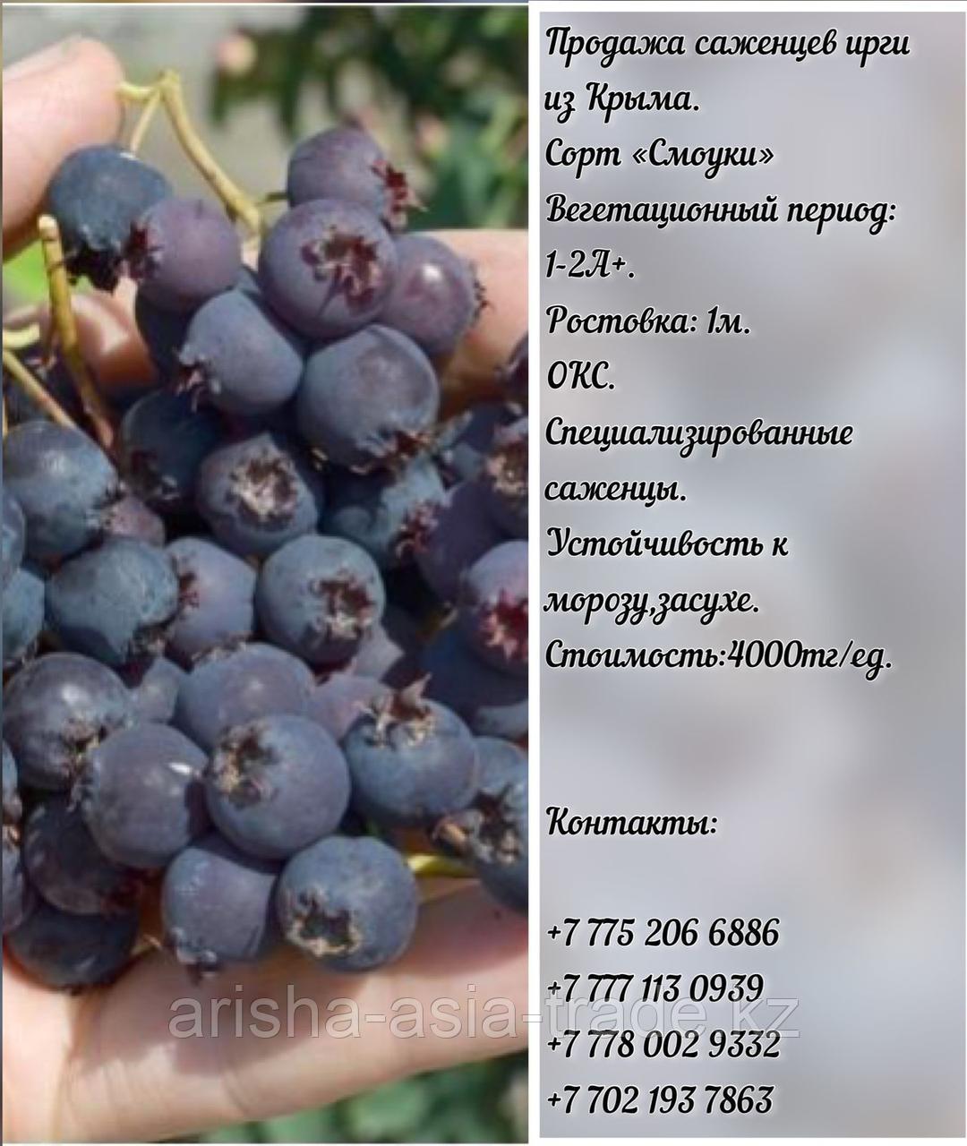 """Саженец ирга """"Смоуки"""" Крым"""